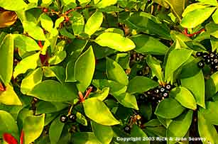 Leaves and fruit of shoebutton ardisia.