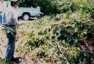 Pile of cut shoebutton ardisia trees in Everglades National Park.