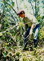 Removing cut ardisia trees from Royal Palm Hammock in Everglades National Park.