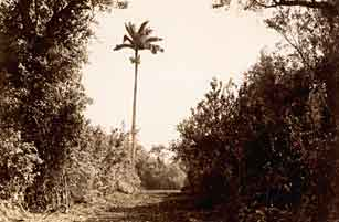 Path cut through Royal Palm Hammock by CCC.